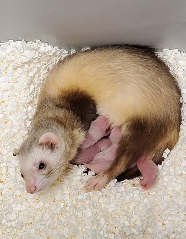 A photo of Elizabeth Ann with her surrogate mother and siblings. Photo Courtesy of: USFWS National Black-footed Ferret Conservation Center; Wikimedia Commons